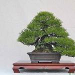 香川高松の盆栽